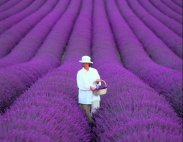 lavender-field-provence-france