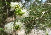 melaleuca-rhaphiophylla-g3